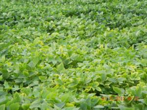potassium deficiency in older beans