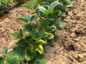 soybean k deficiency