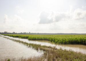 flooded corn Mississippi