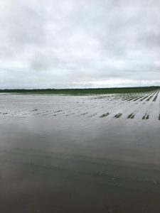 flooded soybeans
