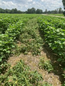 8 days after 2nd dicamba treatment