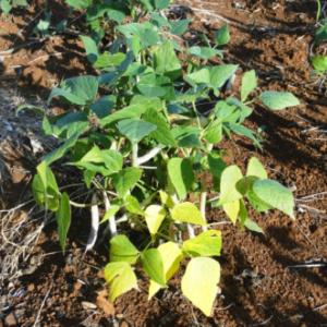 nitrogen deficient soybeans