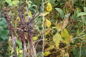 red crown rot, a new disease of soybeans in kentucky