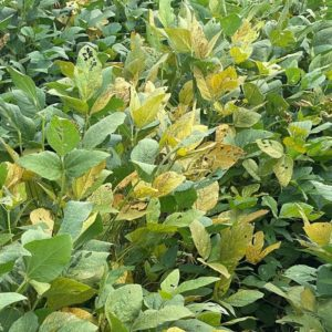 soybean taproot decline