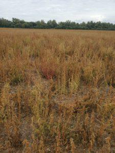 palmer pigweed overruns a soybean field